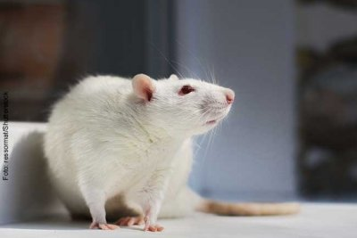 The CRACK IT project being led by the Goethe University is investigating how scientists could avoid using toxicological experiments on tissue from animals like rats