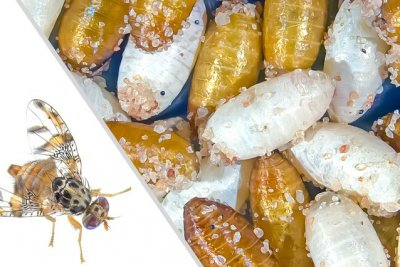 The Mediterranean fruit fly, ceratitis capitata, and its white and brown cocoons
